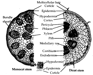 ncert-solutions-for-class-11-biology-anatomy-of-flowering-plants-4