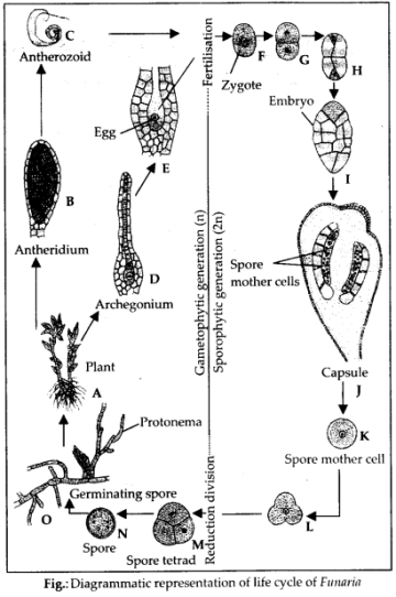 ncert-solutions-for-class-11-biology-plant-kingdom-6
