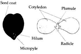 ncert-solutions-for-class-11-biology-morphology-of-flowering-plants-5