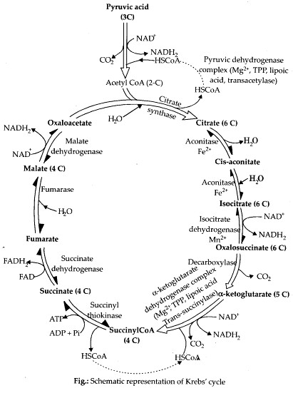 ncert-solutions-for-class-11-biology-respiration-in-plants-2-1
