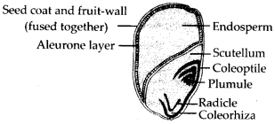 ncert-solutions-for-class-11-biology-morphology-of-flowering-plants-6