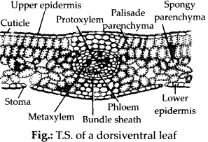 ncert-solutions-for-class-11-biology-anatomy-of-flowering-plants-7