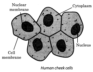 Cell Structure and Functions Class 8 Science NCERT Textbook Questions A4